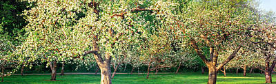 Apple Orchard, Quebec, Canada Poster by Panoramic Images