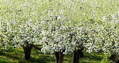 Apple Trees In Bloom Poster