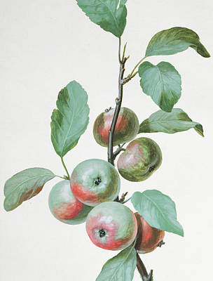Apples Poster by Pierre Joseph Redoute