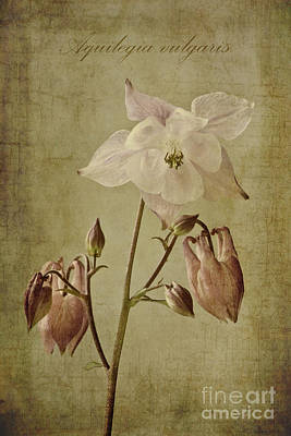 Aquilegia Vulgaris With Textures Poster by John Edwards