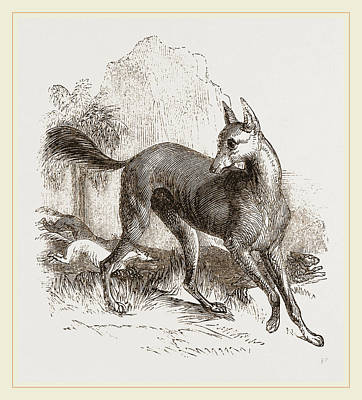 Arabian Greyhound Poster by Litz Collection