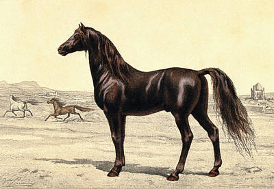 Arabian Horse Poster by Collection Abecasis