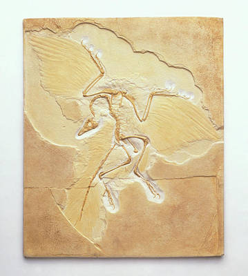 Archaeopteryx Fossil Poster by Dorling Kindersley/uig