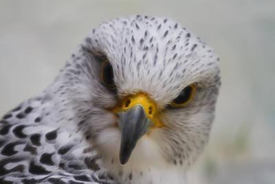 Arctic Falcon Art Poster by Steve McKinzie