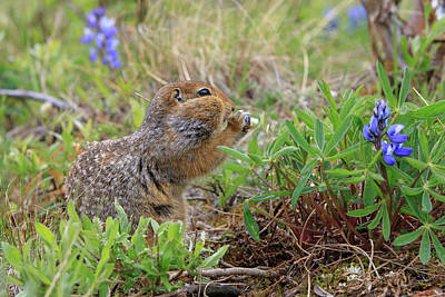 Arctic Ground Squirrel Poster by Tom Norring