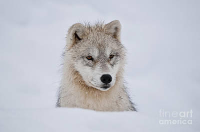 Arctic Pup In Snow Poster by Wolves Only