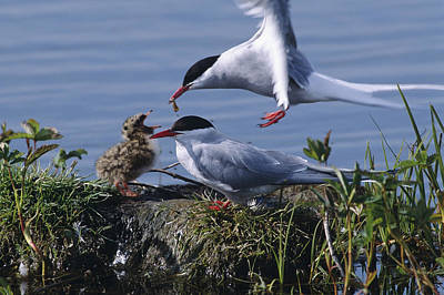 Arctic Terns Feeding Chick At Potter Poster
