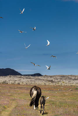Arctic Terns With Mare And Foal Poster by Panoramic Images