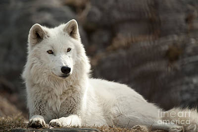 Arctic Wolf Adult Poster