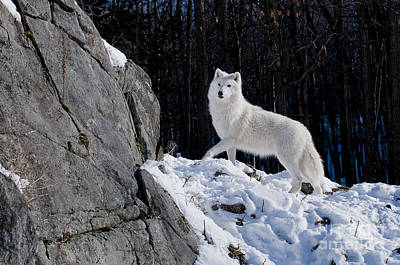 Poster featuring the photograph Arctic Wolf On Rock Cliff by Wolves Only