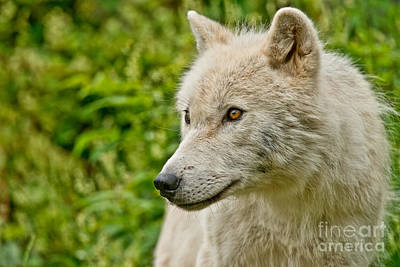Arctic Wolf Pictures 241 Poster by Wolves Only