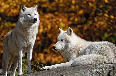 Arctic Wolf Pictures 34 Poster by World Wildlife Photography