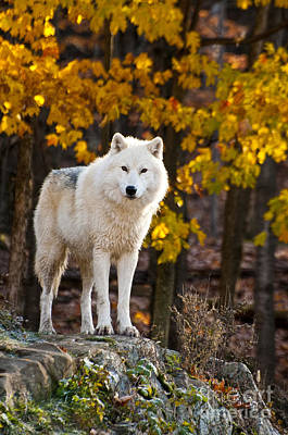 Arctic Wolf Pictures 709 Poster by World Wildlife Photography