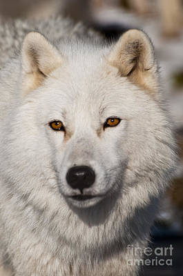 Arctic Wolf Pictures 814 Poster by World Wildlife Photography