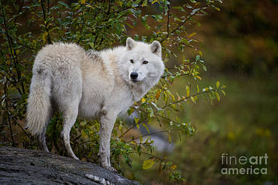 Arctic Wolf Pictures 922 Poster by World Wildlife Photography