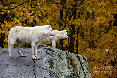 Arctic Wolf Pictures 930 Poster by World Wildlife Photography