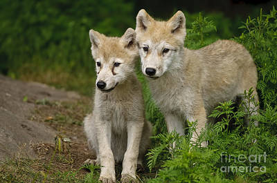 Arctic Wolf Puppies Poster by Wolves Only