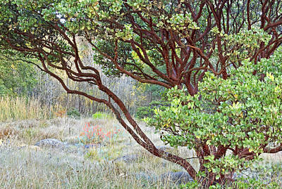 Poster featuring the photograph Arctostaphylos Hybrid by Kate Brown