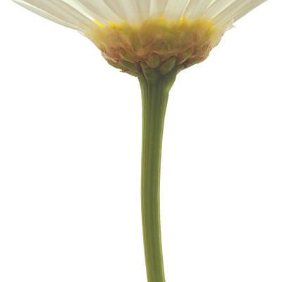 Argyranthemum Frutescens White Marguerite 10x10 Poster by Philip  Butler