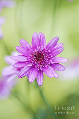 Argyranthemum Madeira Crested Pink Daisy Poster