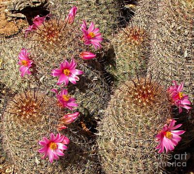 Arizona Fishhook Cactus Poster by Marilyn Smith
