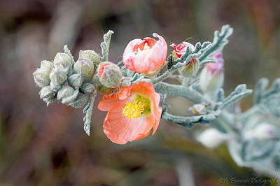 Arizona Globemallow Poster by Aaron Burrows