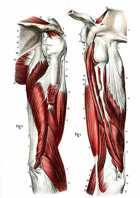 Arm Muscles Poster by Collection Abecasis
