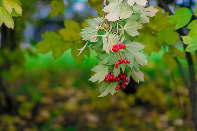 Arrowwood Berries 2 Featured 3 Poster by Alexander Senin