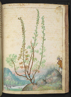 Artemisia Abrotanum Poster by British Library