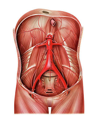 Arterial System Of Abdominal Wall Poster by Asklepios Medical Atlas