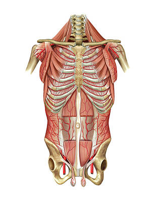 Arterial System Of Thoraco-abdominal Wall Poster by Asklepios Medical Atlas