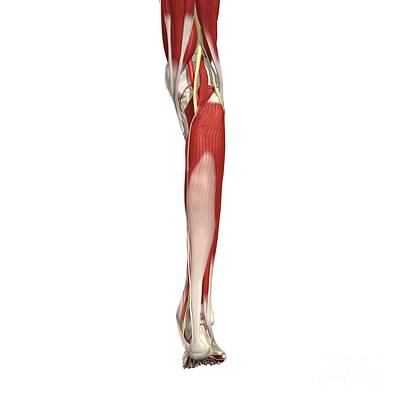 Arteries, Nerves And Muscles Of Leg Poster