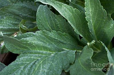 Artichoke Flora Poster by Gwyn Newcombe