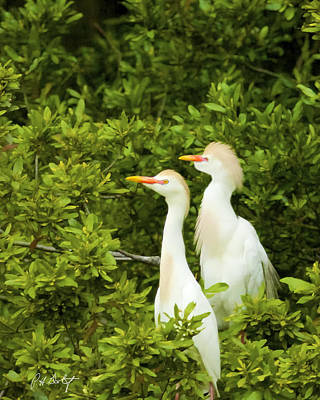 Artistic Cattle Egrets Poster