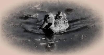 Artistic Monochrome Presentation Of Femail Duck- Female Mallard Swimming  Poster