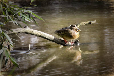 Artistic Paintiry Female Mallard Duck Sitting On A Log Near And Reflected In Water Poster