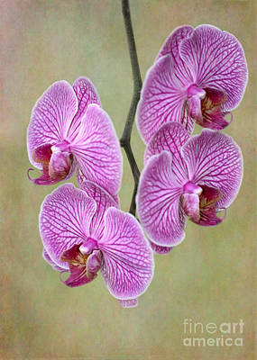Artsy Phalaenopsis Orchids Poster