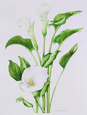 Arum Lily Poster by Sally Crosthwaite