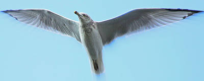 Ascending Seagull Poster by Aurelio Zucco