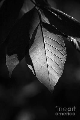 Ash Leaf Poster