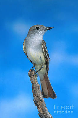 Ash-throated Flycatcher Poster by Anthony Mercieca