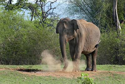 Asian Elephant Dust Bathing Poster by K Jayaram