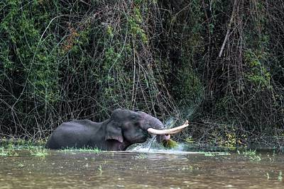 Asian Elephant Feeding In A River Poster