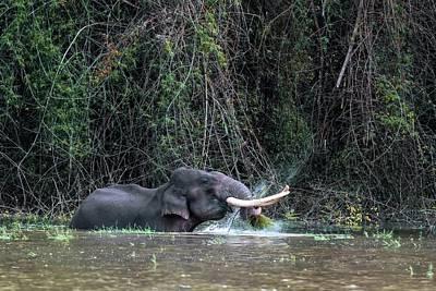 Asian Elephant Feeding In A River Poster by K Jayaram