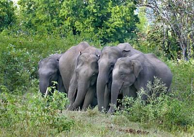 Asian Elephants At A Mineral Lick Poster by K Jayaram