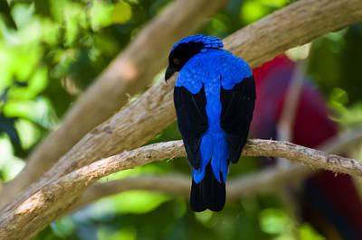 Asian Fairy Bluebird Poster by Chris Flees