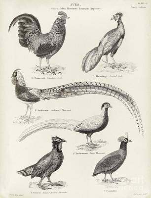 Asian Game Birds, 19th Century Poster