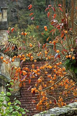 Asian Persimmon (diospyros Kaki) In Fruit Poster by Bob Gibbons