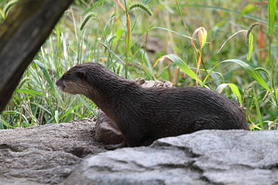 Asian Small Clawed Otter - National Zoo - 01138 Poster by DC Photographer