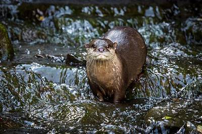 Asian Small-clawed Otter Poster by Paul Williams